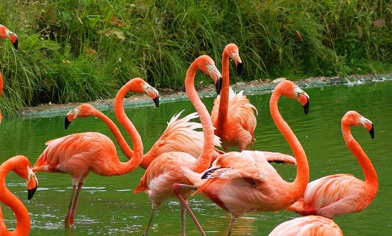 Flamingolar neden tek ayak üstünde durur ?