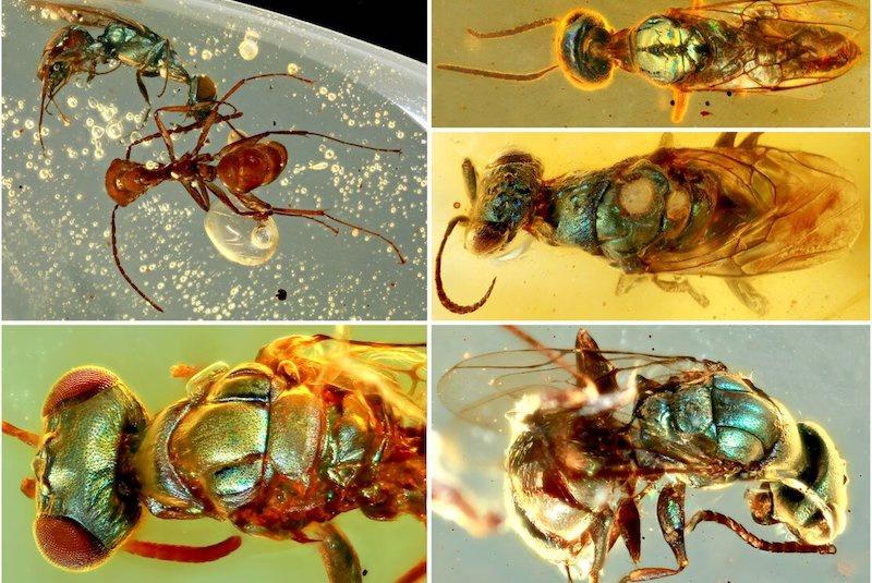 Kuzey Myanmar'da Orta Kretase Dönemi'ne ait kehribar içinde bulunan, yapısal olarak renklendirilmiş farklı böcekler. C: NIGPAS