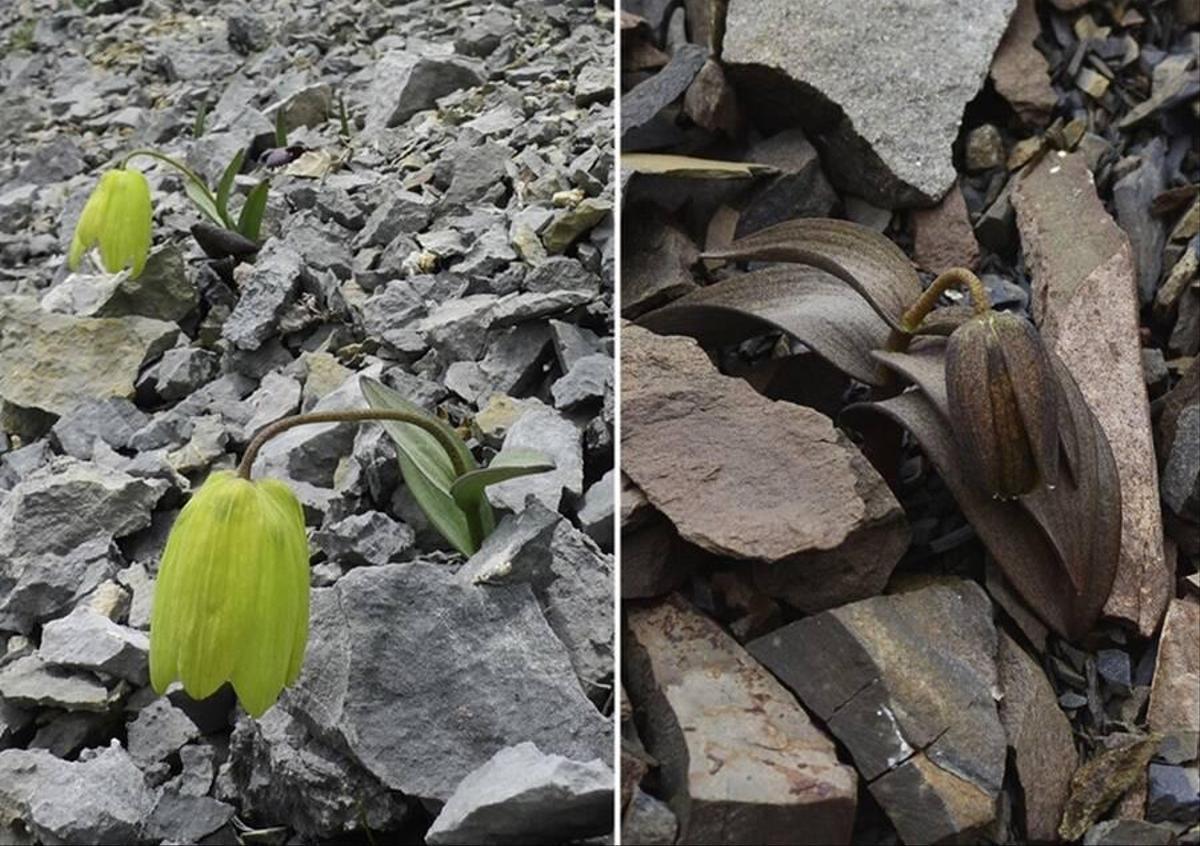 Fotoğraf: Fritillaria delavayi - Niu ve arkadaşları