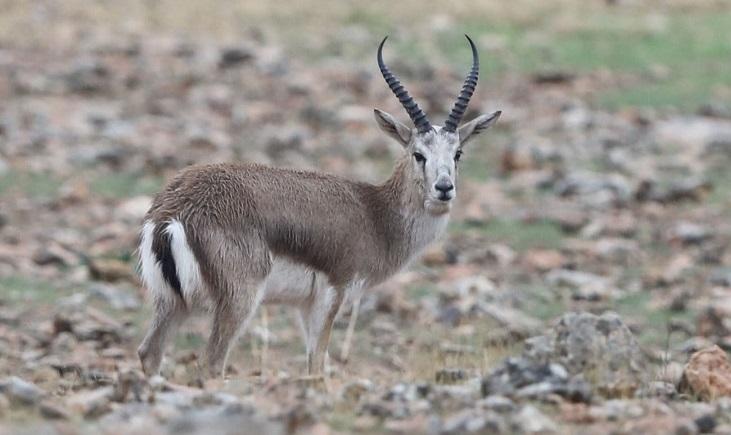 Ceylan / Goitered gazelle / Gazella subgutturosa