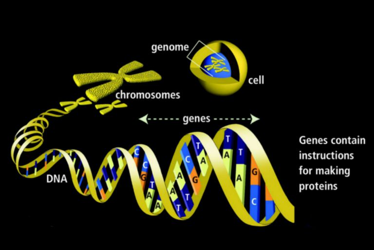 Genler Ve Genetik Kalıtım