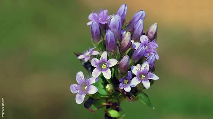 Gentianella caucasea - KAF BODURANI