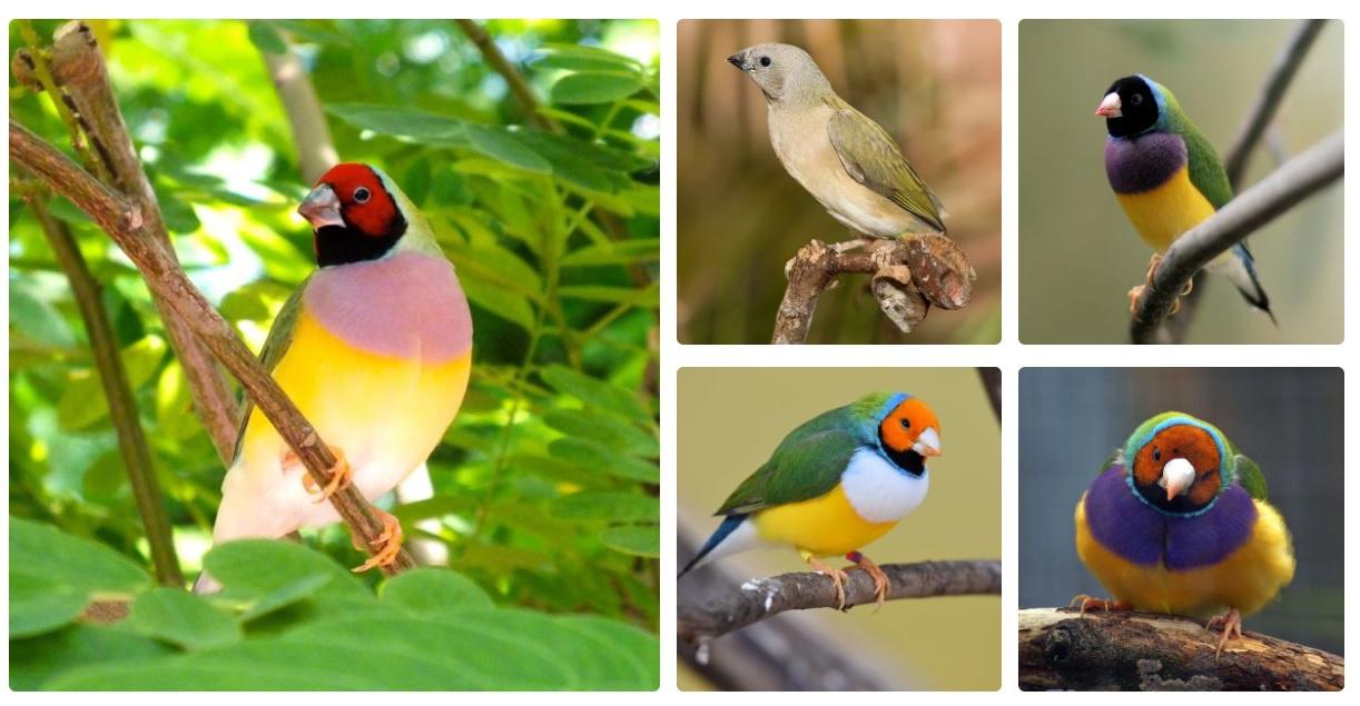 Gouldian Finch ya da Gökkuşağı İspinozu