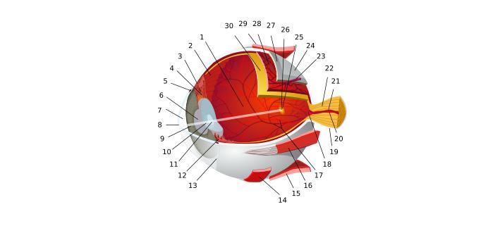 Göz nedir ? Gözün görevleri nelerdir ? Canlılarda göz ve görme organı