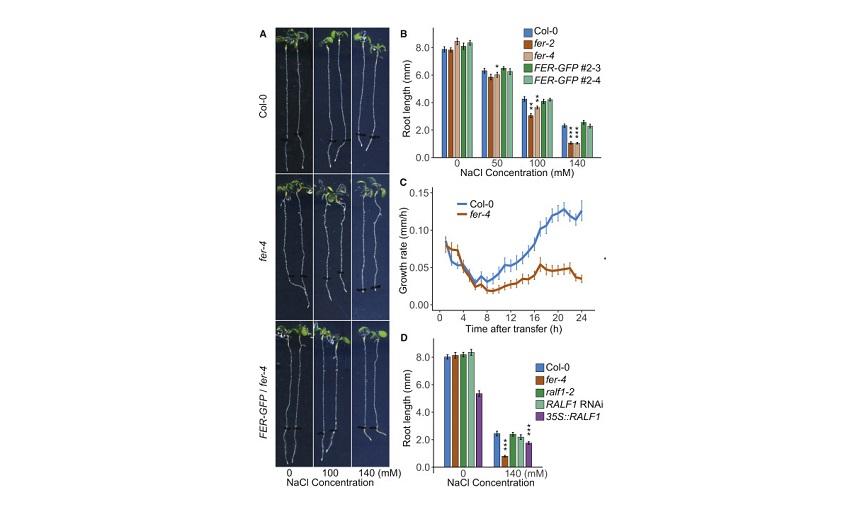Bitkinin Yüksek Tuzluluktaki Yaşam Mücadelesi : Bitki Hücre Duvarının Algı Mekanizması