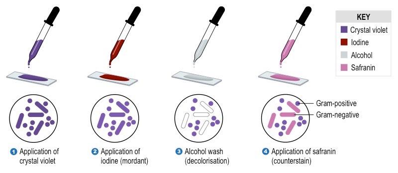 Gram Boyama Testi Mikrobiyoloji