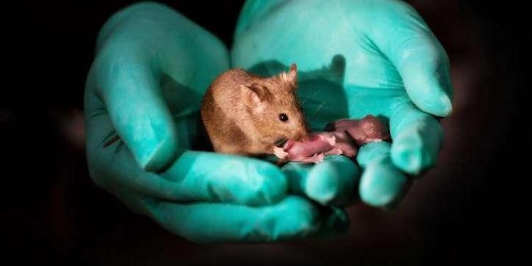 Granüloza Hücrelerinden Yapılan Yumurtalardan Doğan Fare Yavruları