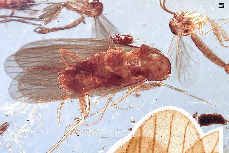 Kehribar İçinde 99 Milyon Yıllık Hamam Böcekleri Bulundu