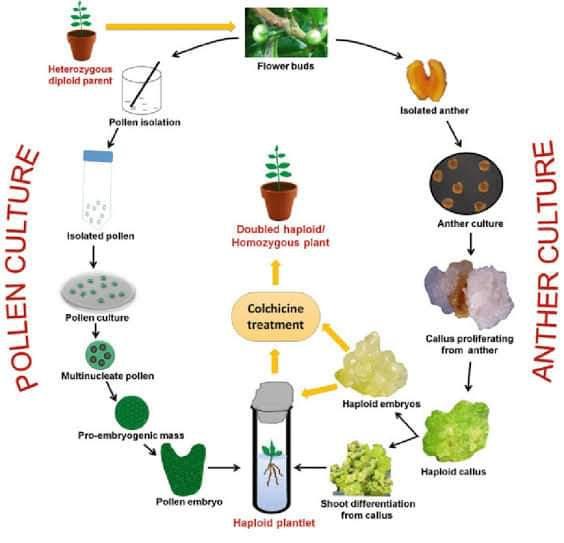 Bitki doku kültürü çalışmaları ile haploid bitkiler elde edilebilir