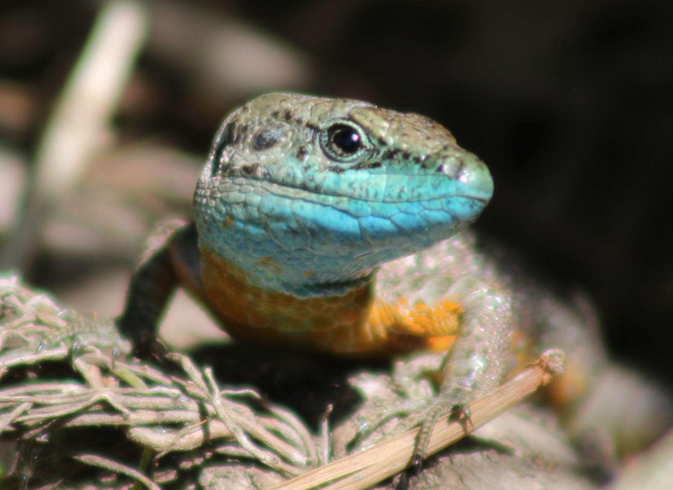 Hatay Kertenkelesi (Phoenicolacerta laevis)