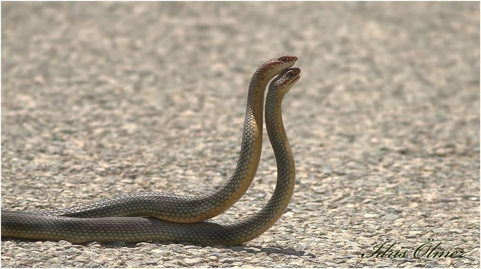Hazer yılanı (Coluber caspius)