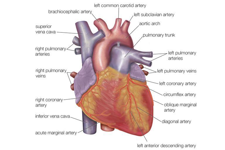 Kalbin Anatomisi ve Görevleri Nelerdir ?