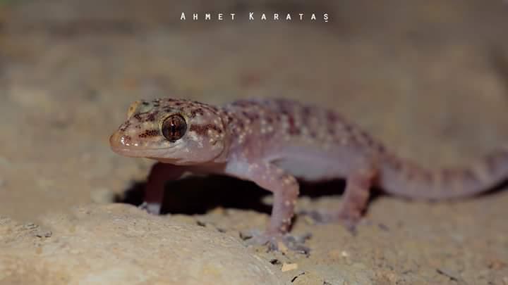 Türk Keleri (Hemidactylus turcicus)