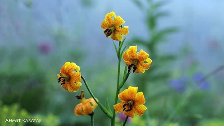 Hemşin Zambağı Lilium ponticum