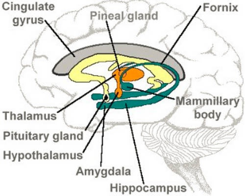 Hipokampus Anatomisi