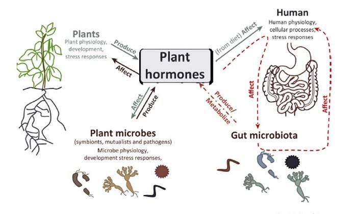 Bitki Hormonları İnsan ve Bağırsak Mikroplarını Nasıl Etkiliyor?