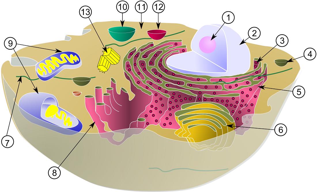 Hücrelerdeki farklı ve benzer yapılar