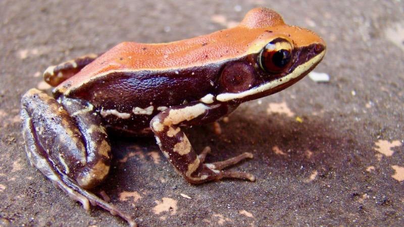 Kurbağa Derisi Üzerinde Virüsidal Sıvı Keşfedildi