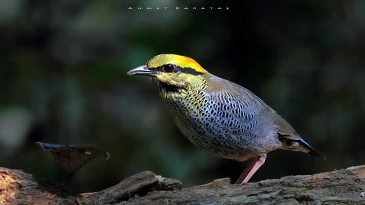 Mavi Pita - Hydrornis cyaneus