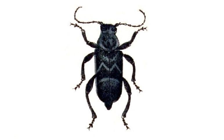 Teke Böceği - Konakdelen - Hylotrupes bajulus ve Verdiği Zararlar