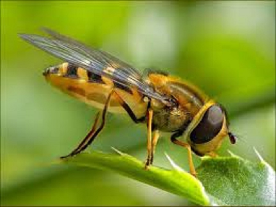 Arılar neden vızıldar?