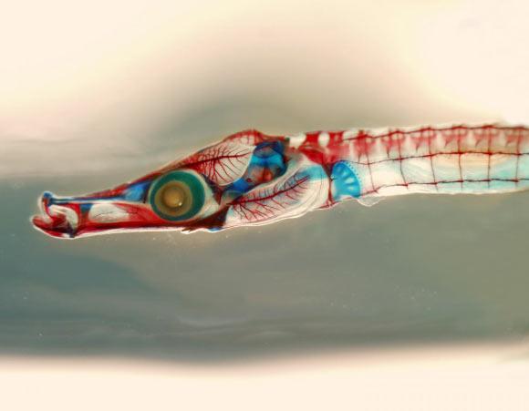 Syngnathus scovelli Genomu Sekanslandı
