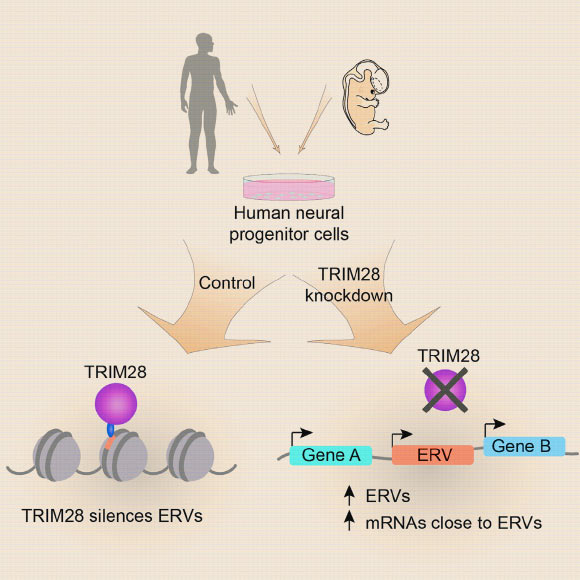 Genomda İnsan Beyni İçin Önemli Endojenik Retrovirüsler