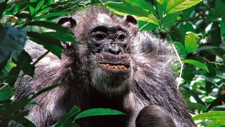 Uganda'nın Ngogo Şempanzeleri Şaşırtıcı Olarak Uzun Ömürlü