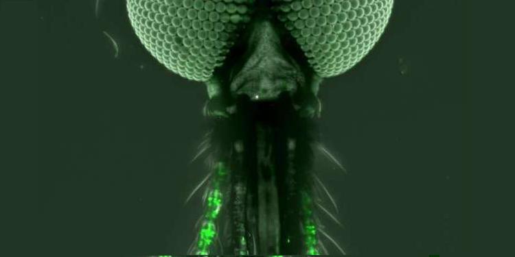Sivrisinek Beyninde Koku ile Tadı Harmanlayan Özel Bir Bölge Keşfedildi