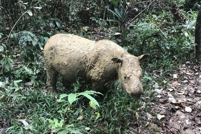 Image courtesy of the Borneo Rhino Alliance (BORA).