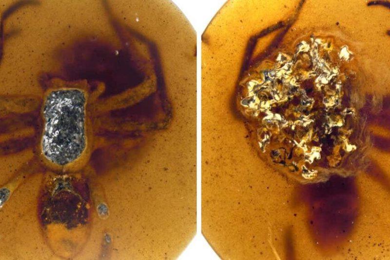 osilleşmiş bir kehribar parçasında, yumurtadan çıkmaya neredeyse hazır olan örümcek embriyolarıyla dolu bir yumurta kesesini tutan dişi bir örümcek şaşırtıcı bir şekilde korunmuş. C: DOI: 10.1098/rspb.2021.1279