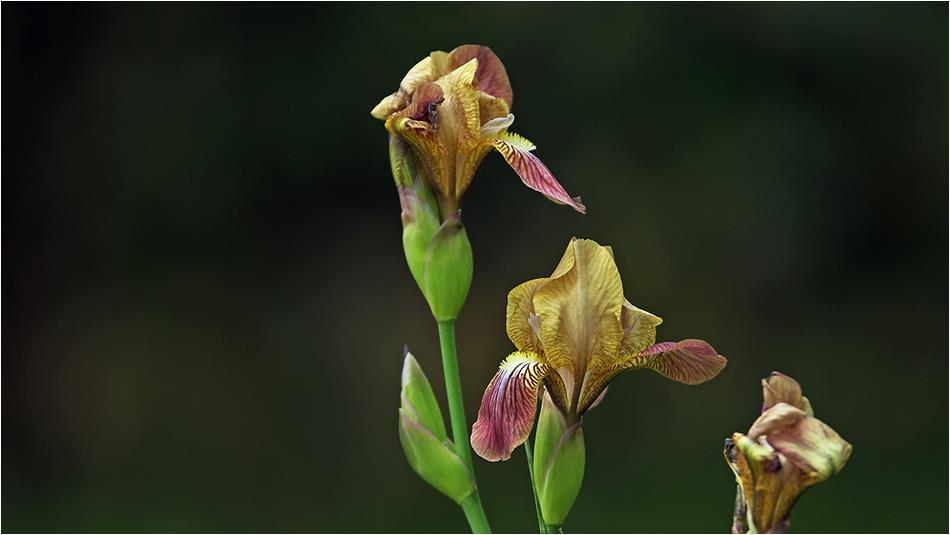 Iris schachtii - Süsen