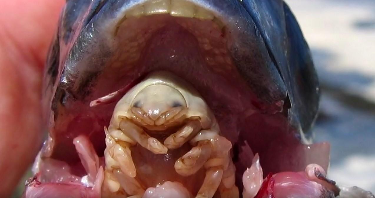Dil paraziti - Cymothoa exigua - Dil yiyen parazit