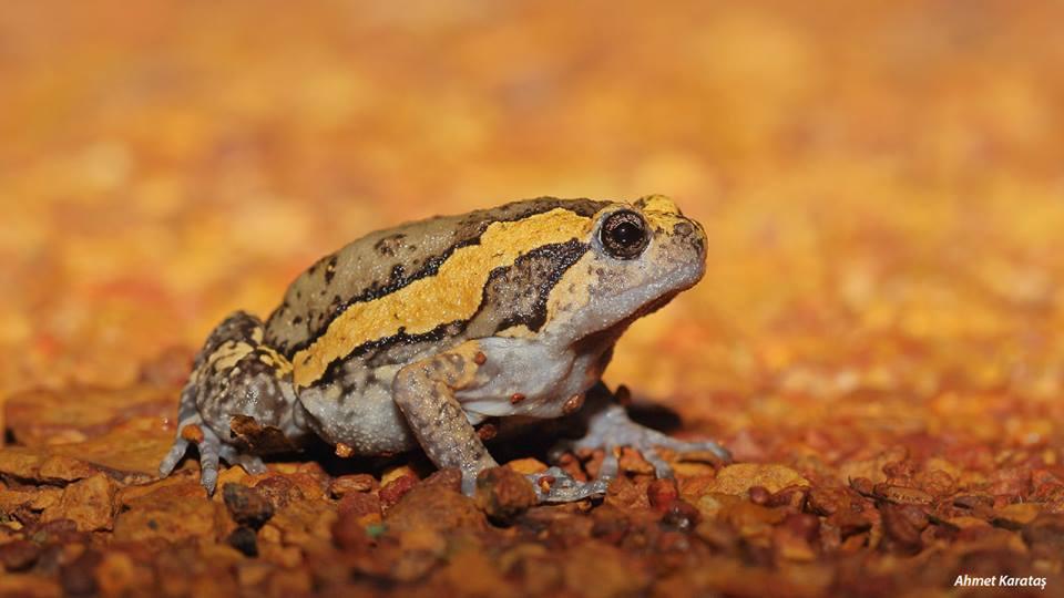 Kaloula pulchra - Bantlı Öküz Kurbağası