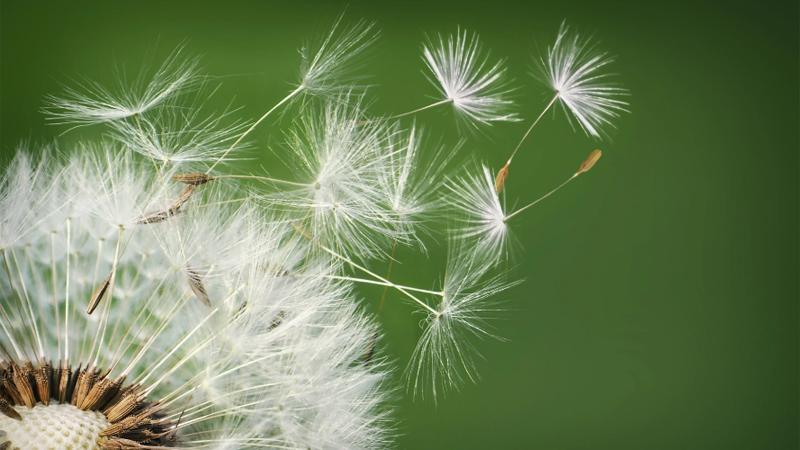 Karahindiba tohumları, doğada daha önce hiç görülmemiş bir yöntemle uçuyorlar