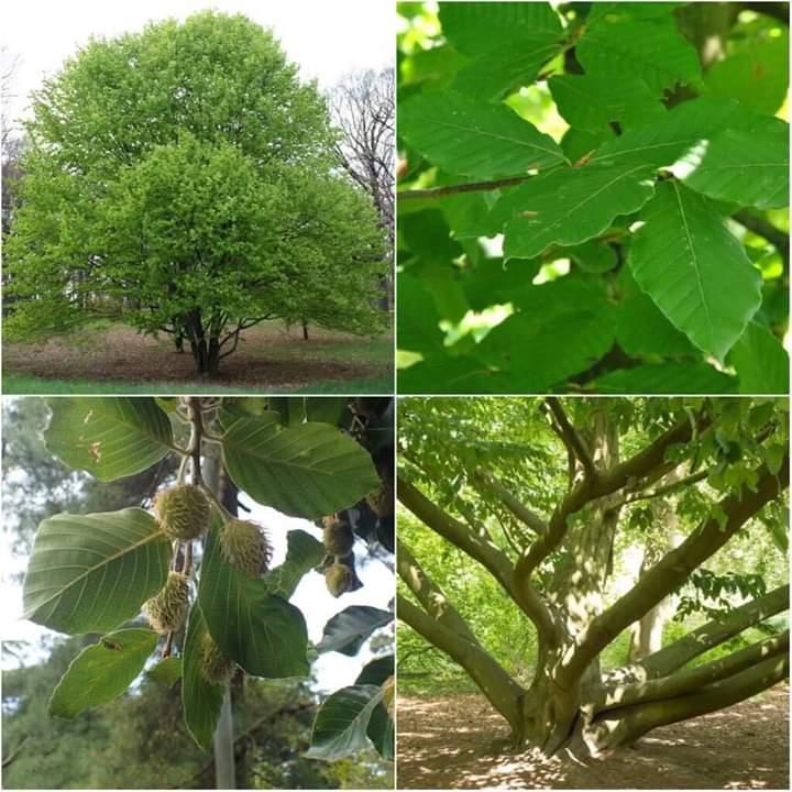 Kayın Ağaçlarının Özellikleri Nelerdir ? Kayın Ağaçları ve Ekonomik Önemi