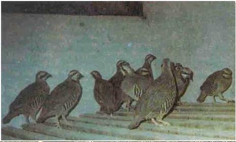 Keklik Yetiştiriciliği Hakkında Bilgi
