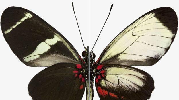 Kelebek Kanadındaki Yapay Desenlenme