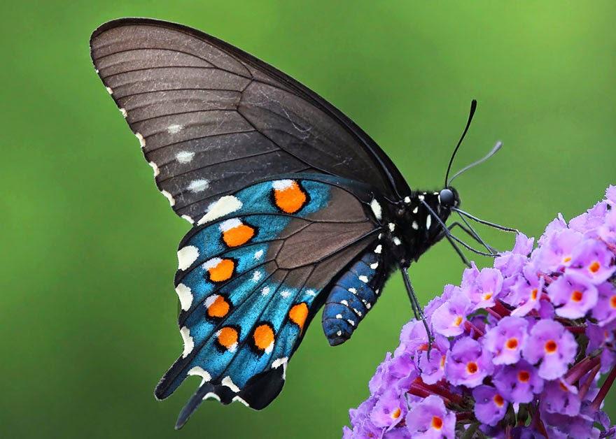 Kelebek kanadının aerodinamik yapısı uçuş teknolojilerine ilham verebilir mi?