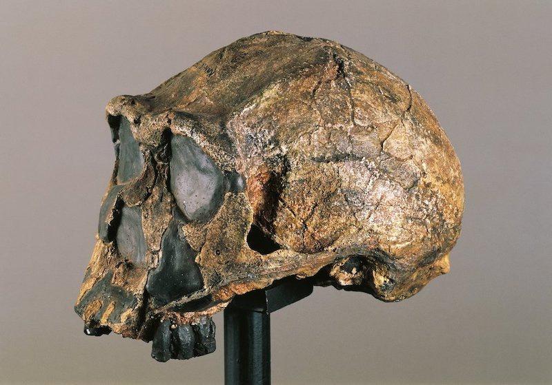 Kenya'da yaklaşık 1 milyon yıl önce yaşayan soyu tükenmiş bir insan akrabası olan Homo erectus'un fosili. C: G. Cigolini/De Agostini