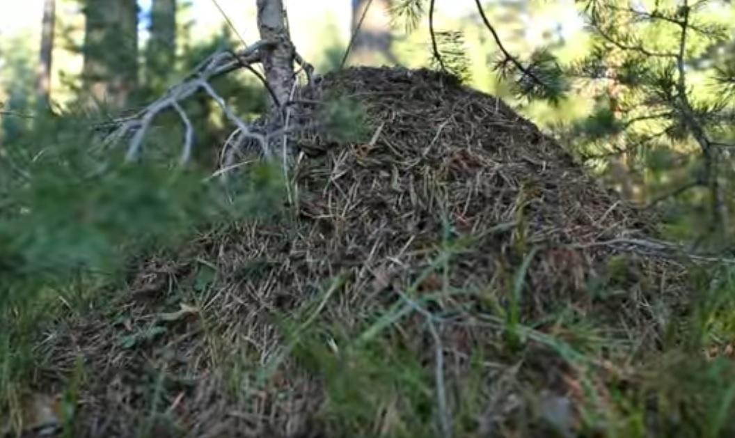 Kırmızı orman karınca yuvası