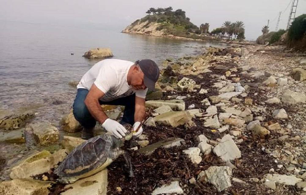 Dikkat !!! Kıyılarımızda Yeşil Kaplımbağalar dolaşıyor