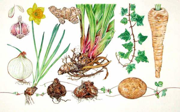 Bitki Kök Tipleri ve Özellikleri