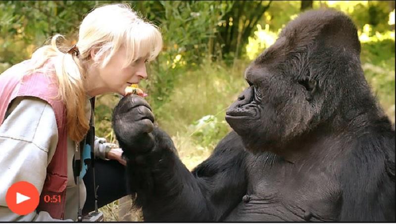 Beden Dili Kullanan Koko 46 Yaşında Hayata Veda Etti