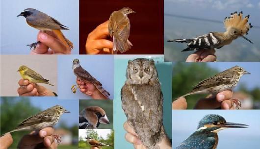 Kuş Halkalama Çalışmaları