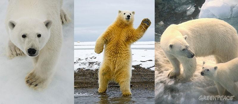 Kutup ayıları hakkında bilinmeyen 10 gerçek