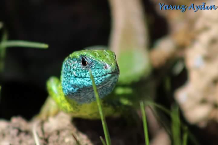 Yeşil Kertenkele - Zümrüt Kertenkele - Lacerta viridis