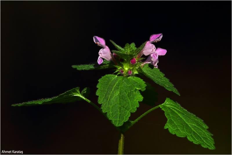 Lamium purpureum - Morçiçekli Ballıbaba
