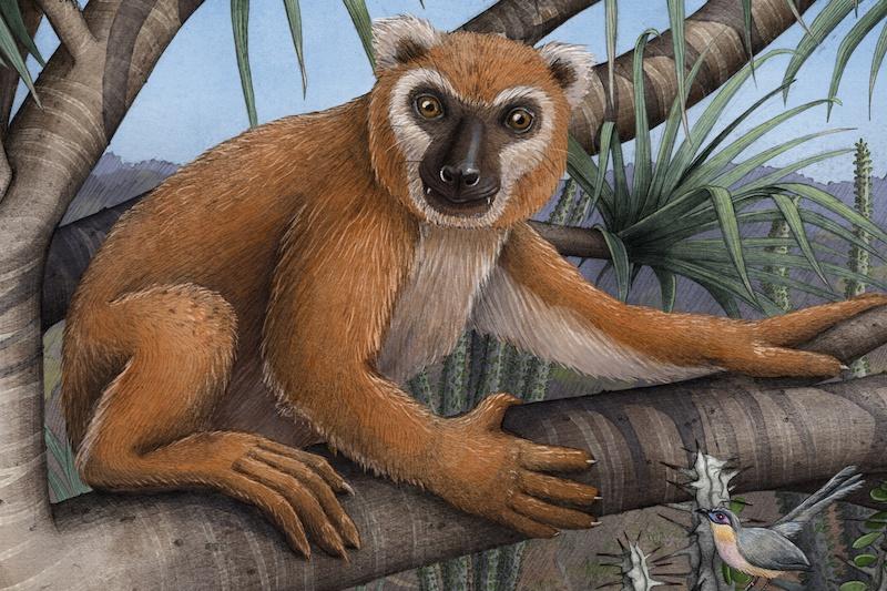 Bir koala lemuru (Megaladapis edwardsi) illüstrasyonu. C: Alex Boersma/PNAS