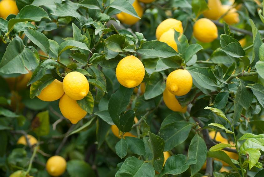 Limon Ağacı yetiştiriciliği ve Limon Türleri